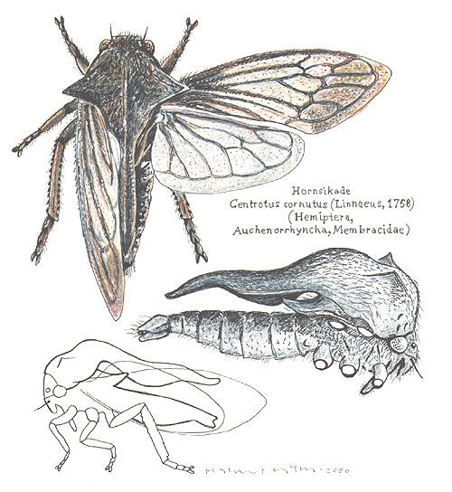 Membracidae-Centrotus-cornutus.jpg