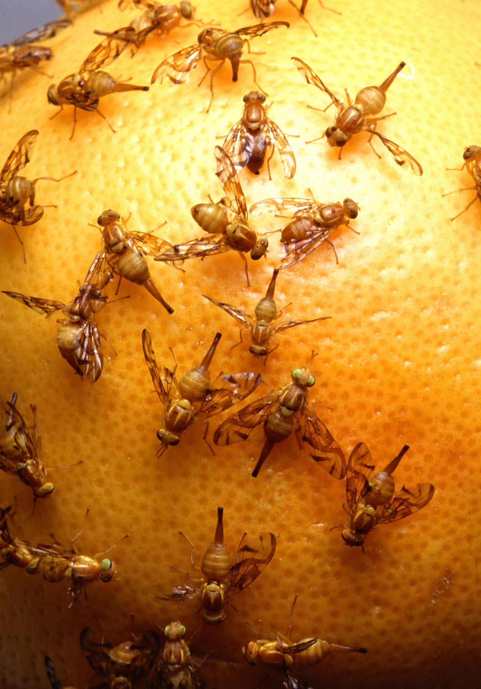 File:Mexican fruit flies.jpg - Wikimedia Commons