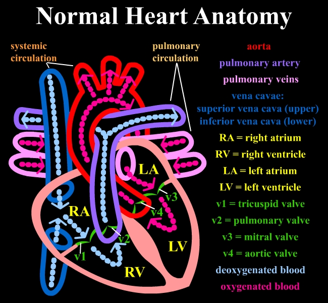 Heart anatomy wiki
