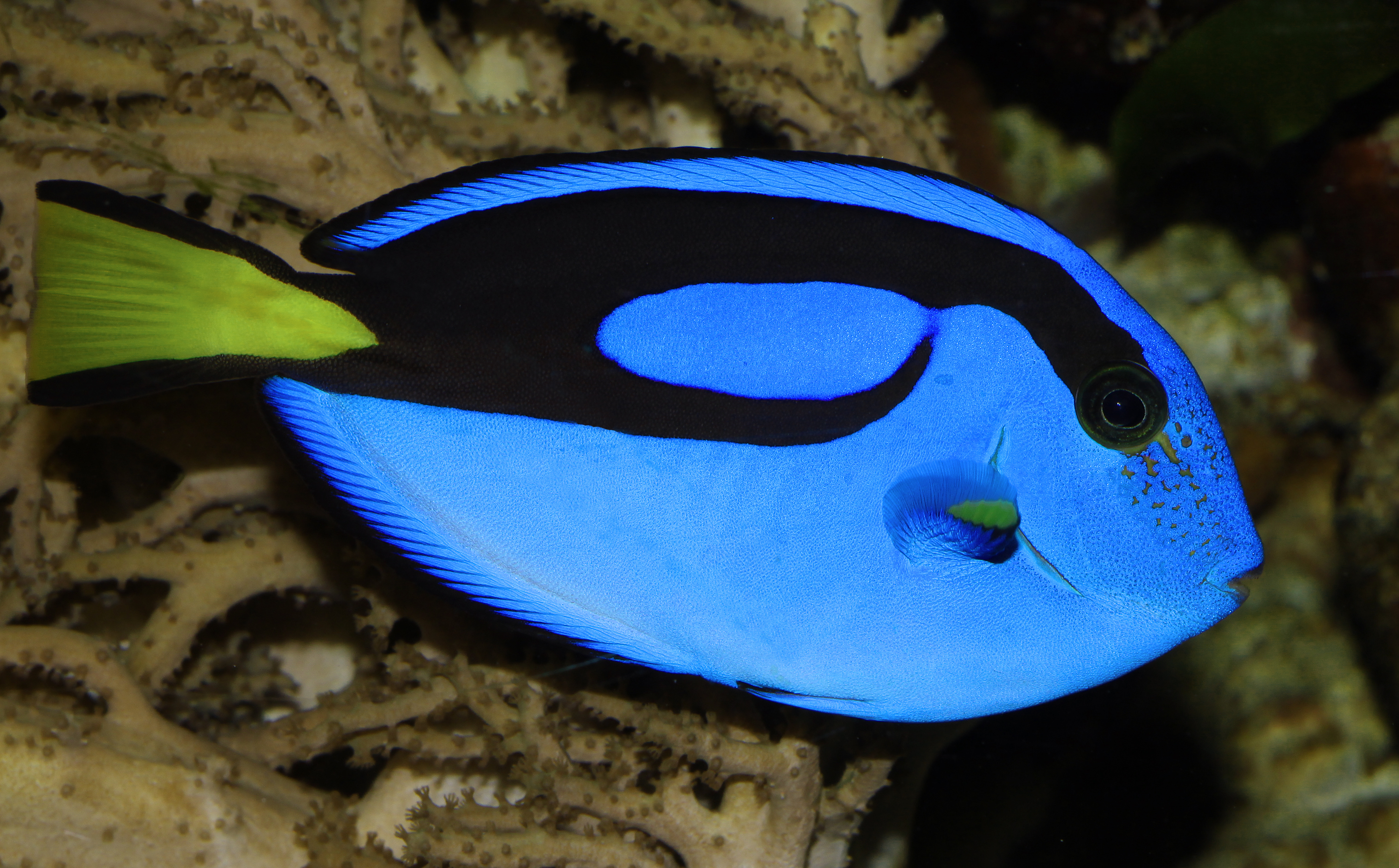Blue tang a k a surgeonfish for Picture of dory fish