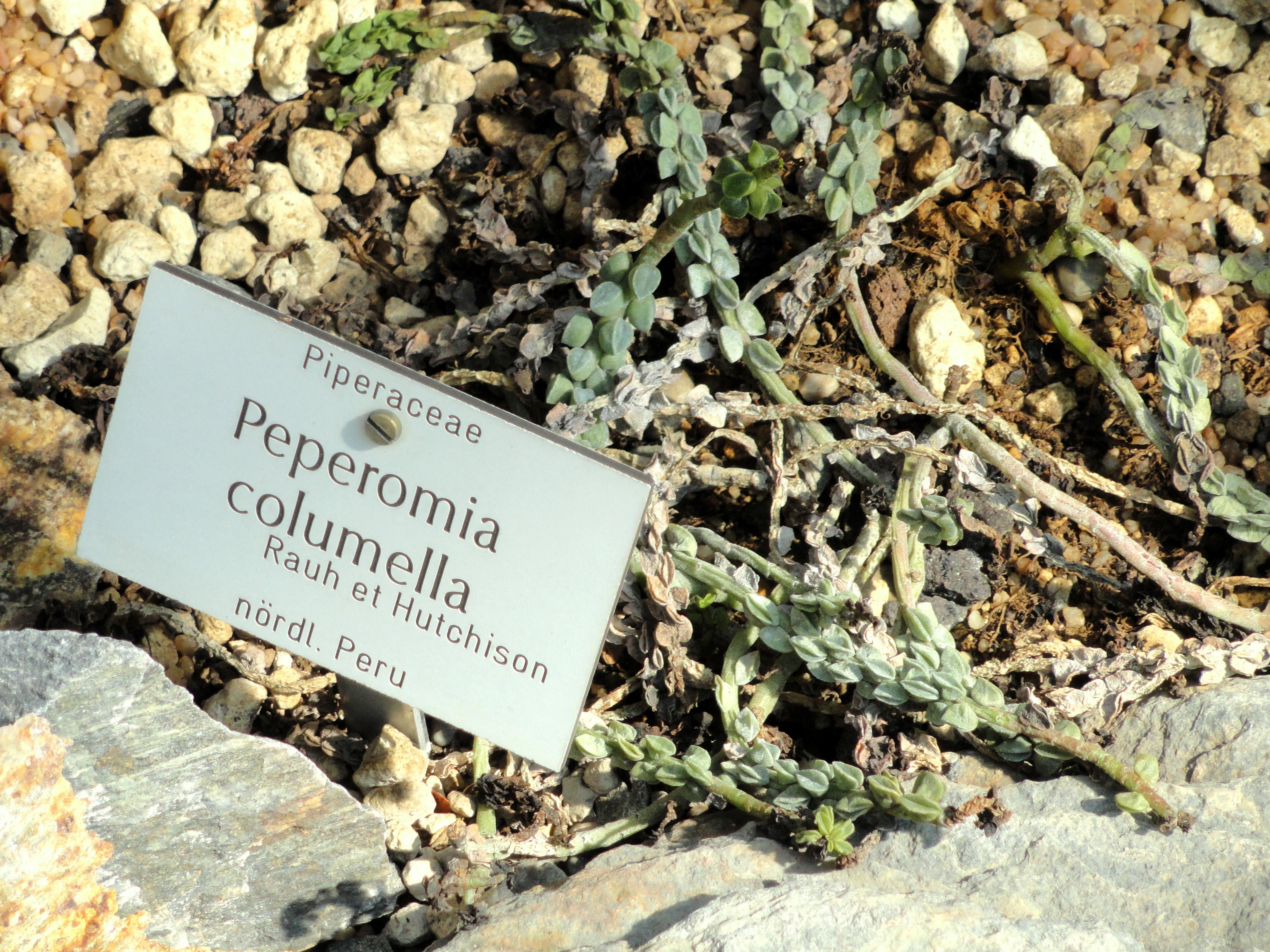 Filepeperomia Columella Botanischer Garten München Nymphenburg
