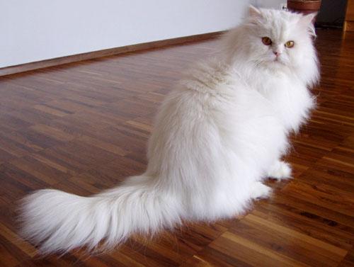 Pisică Persană Wikipedia