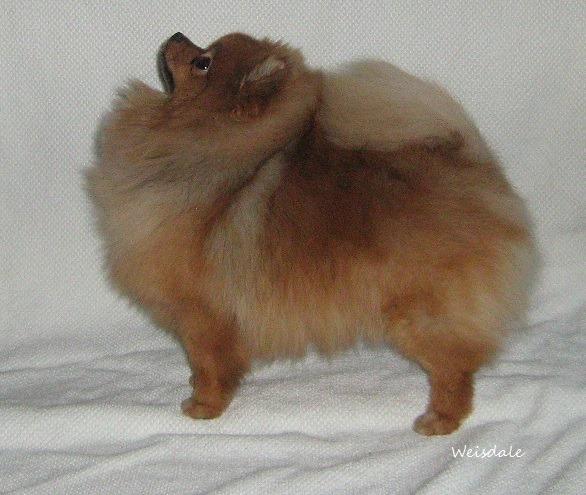 Pomeranian orange sable