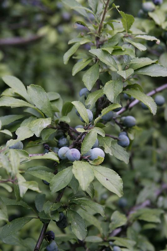 Fruchtende Schlehen (Mitte August)