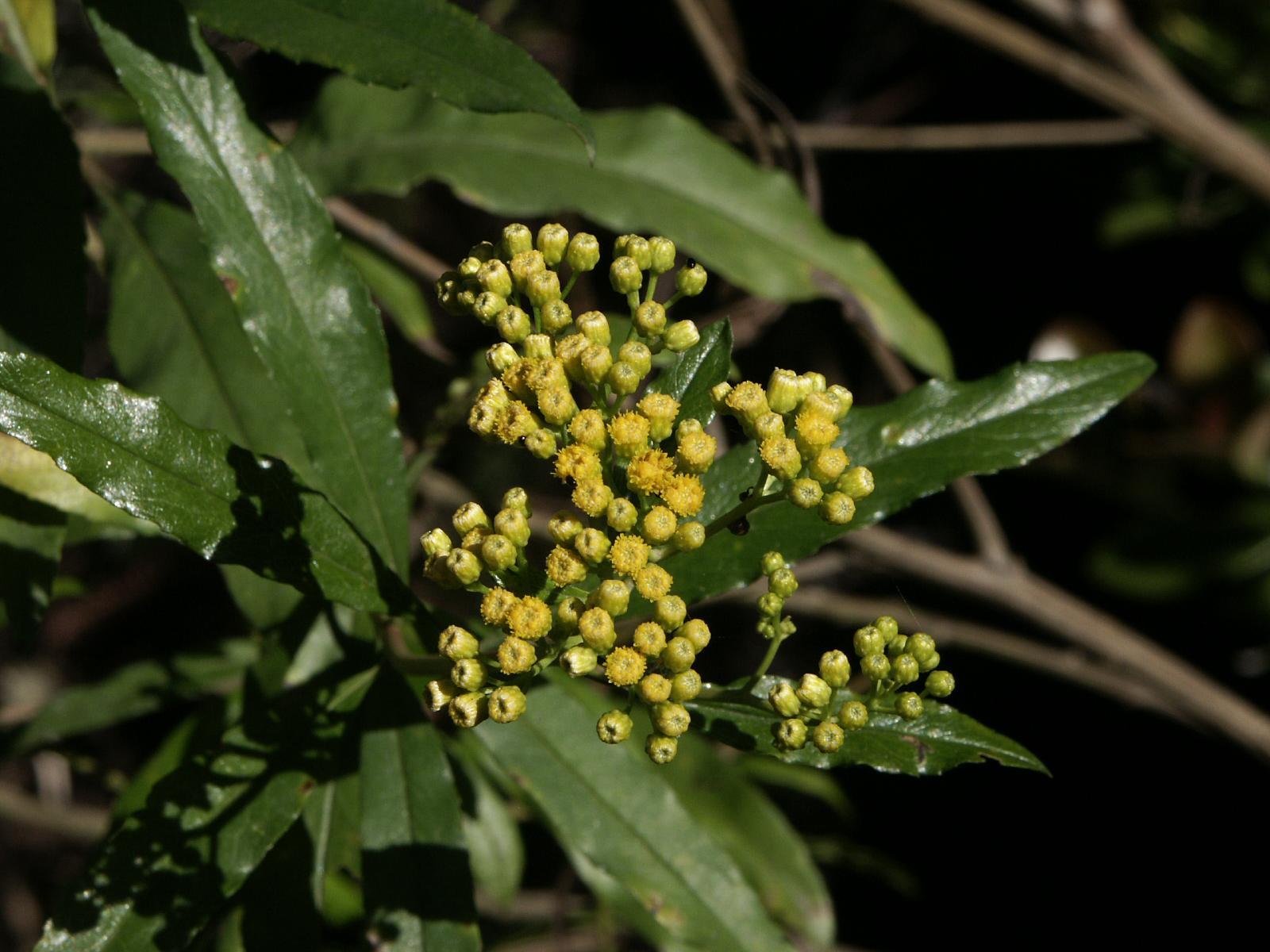 Psiadia altissima - Wikispecies