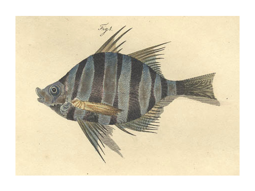 Public Domain - Fish or Ghoti