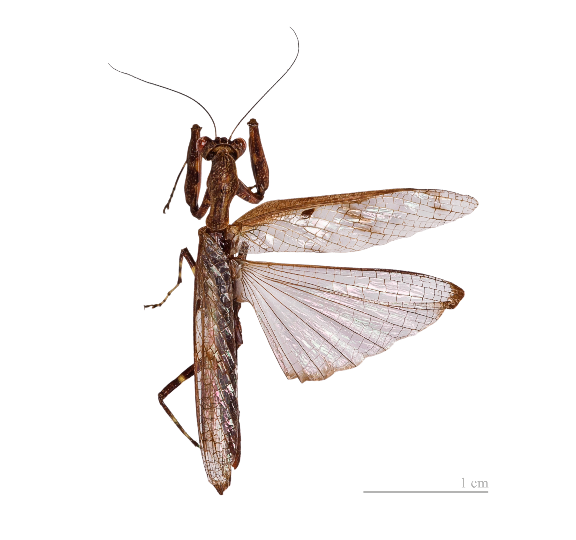 File:Raptrix perspicua MHNT male.jpg - Wikimedia Commons