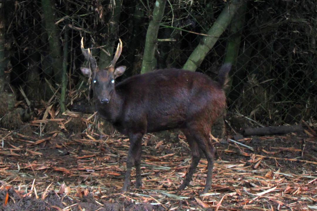 Philippine deer - Wikipedia