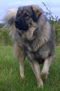 Illyrian Shepherd Dog For Sale