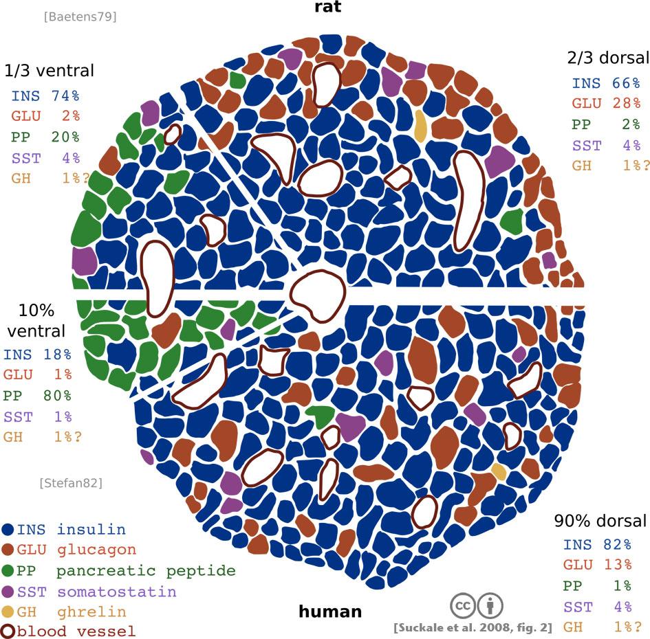 disfunción de células beta en diabetes