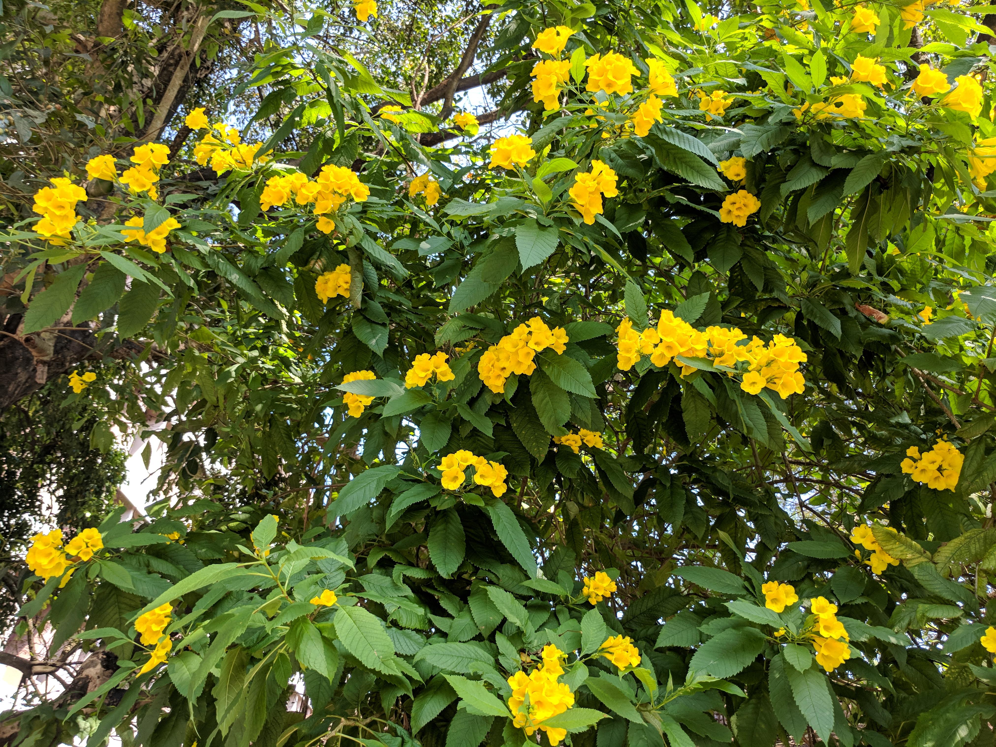 Filetecoma Stans Yellow Bell Flower 31g Wikimedia Commons
