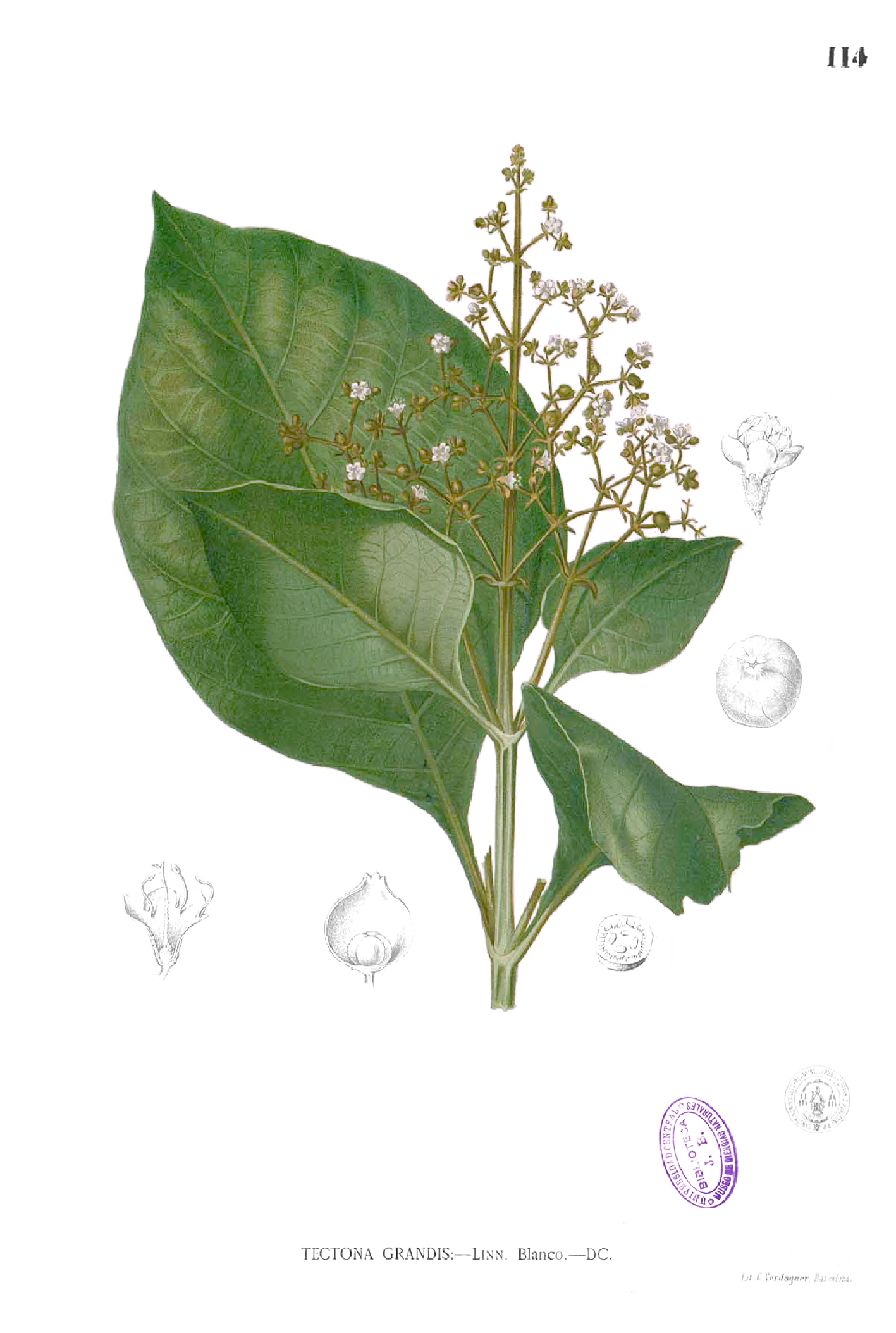 Gambar Ilustrasi Pohon Jati