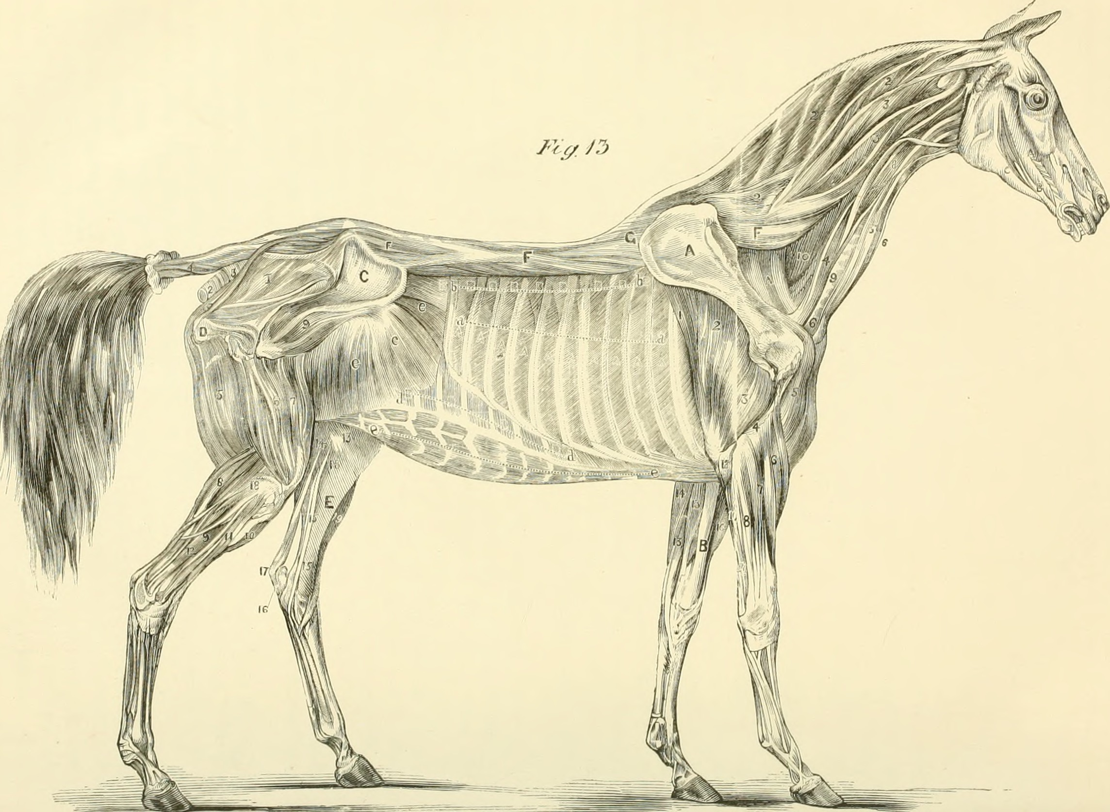 Horse Teeth Age Anatomy and Growth Equine Spot - dinocro.info