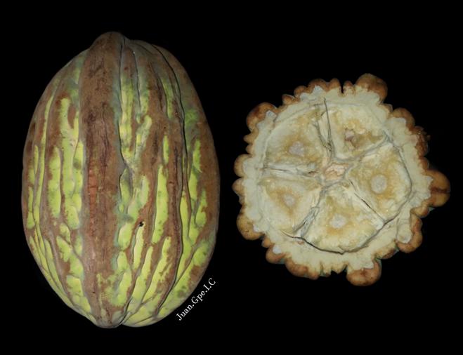 Mocambo Theobroma bicolor