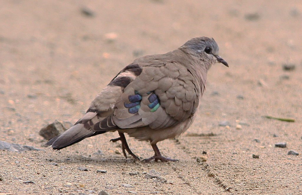 An emerald-spotted wood dove.
