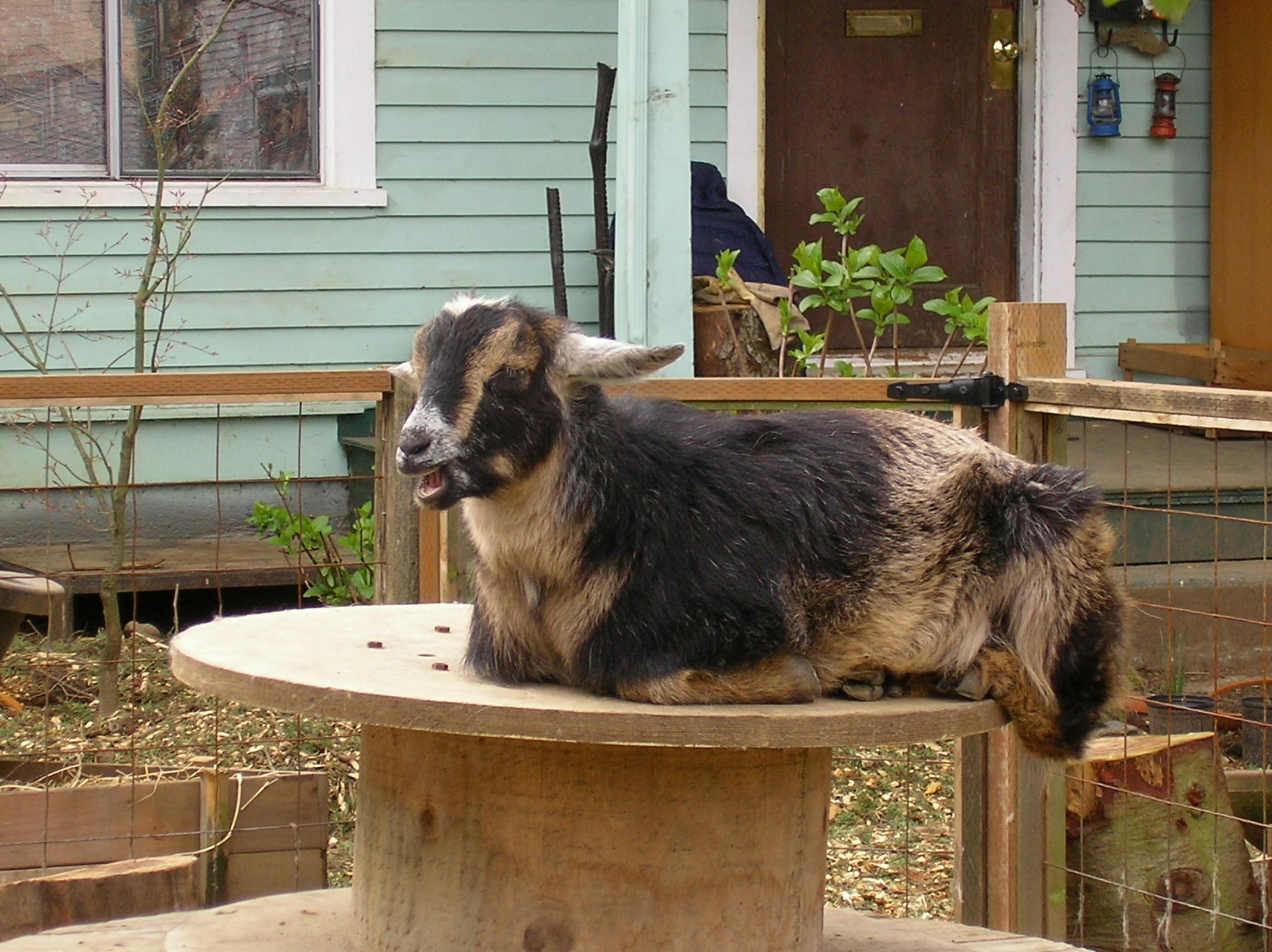 file urban goat jpg wikimedia commons