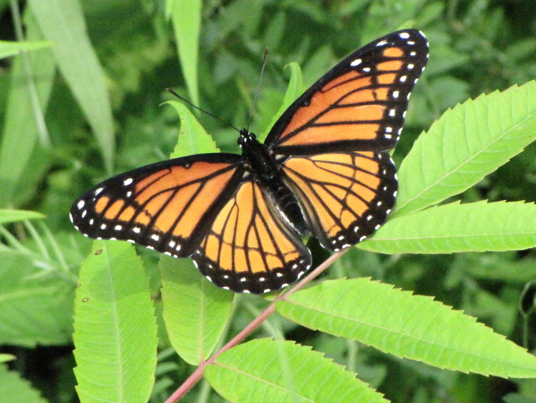 Monarch butterfly body - photo#20