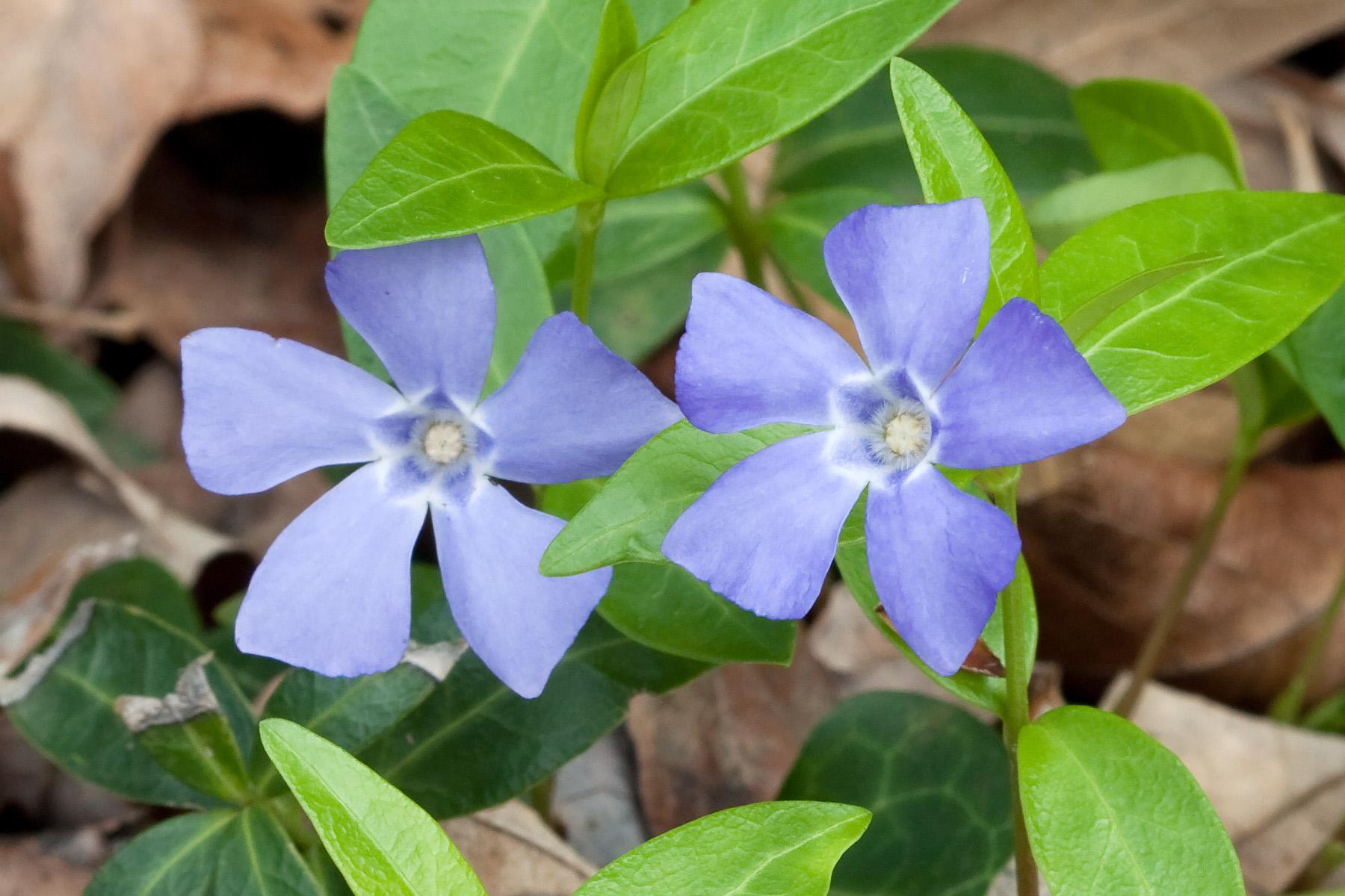 Periwinkle Flower Spirala beading: Periw...