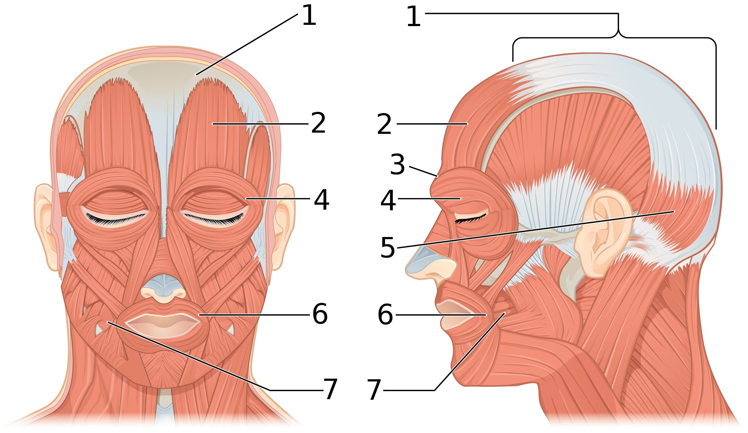 File1106 Front And Side Views Of The Muscles Of Facial Expressions