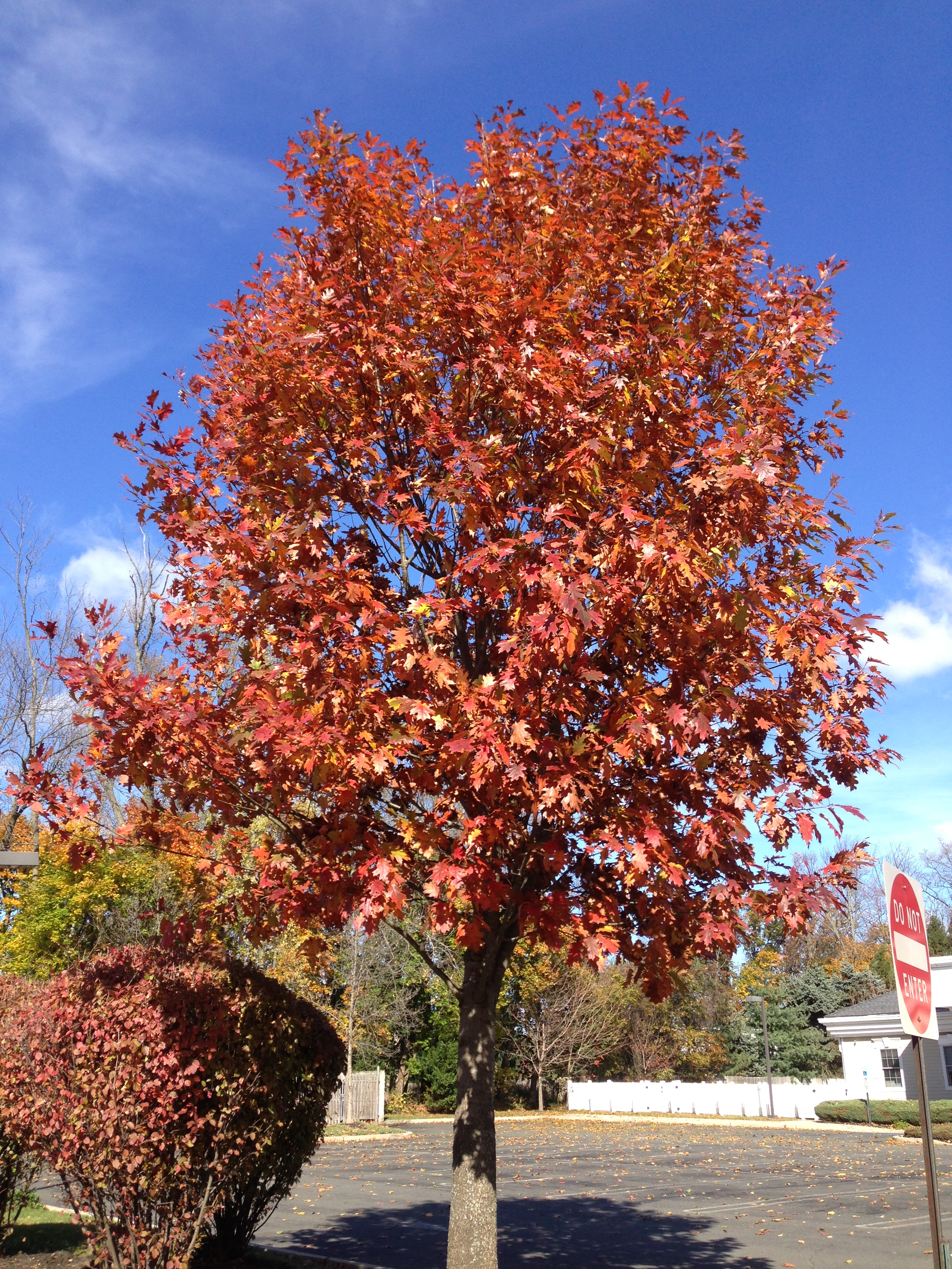Red Oak Tree ~ File red oak during autumn along
