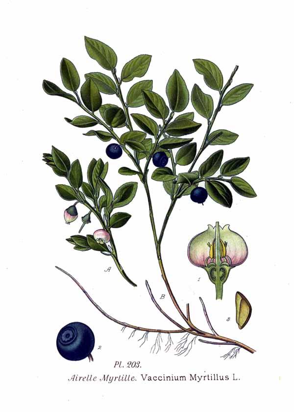Brusnica čučoriedková
