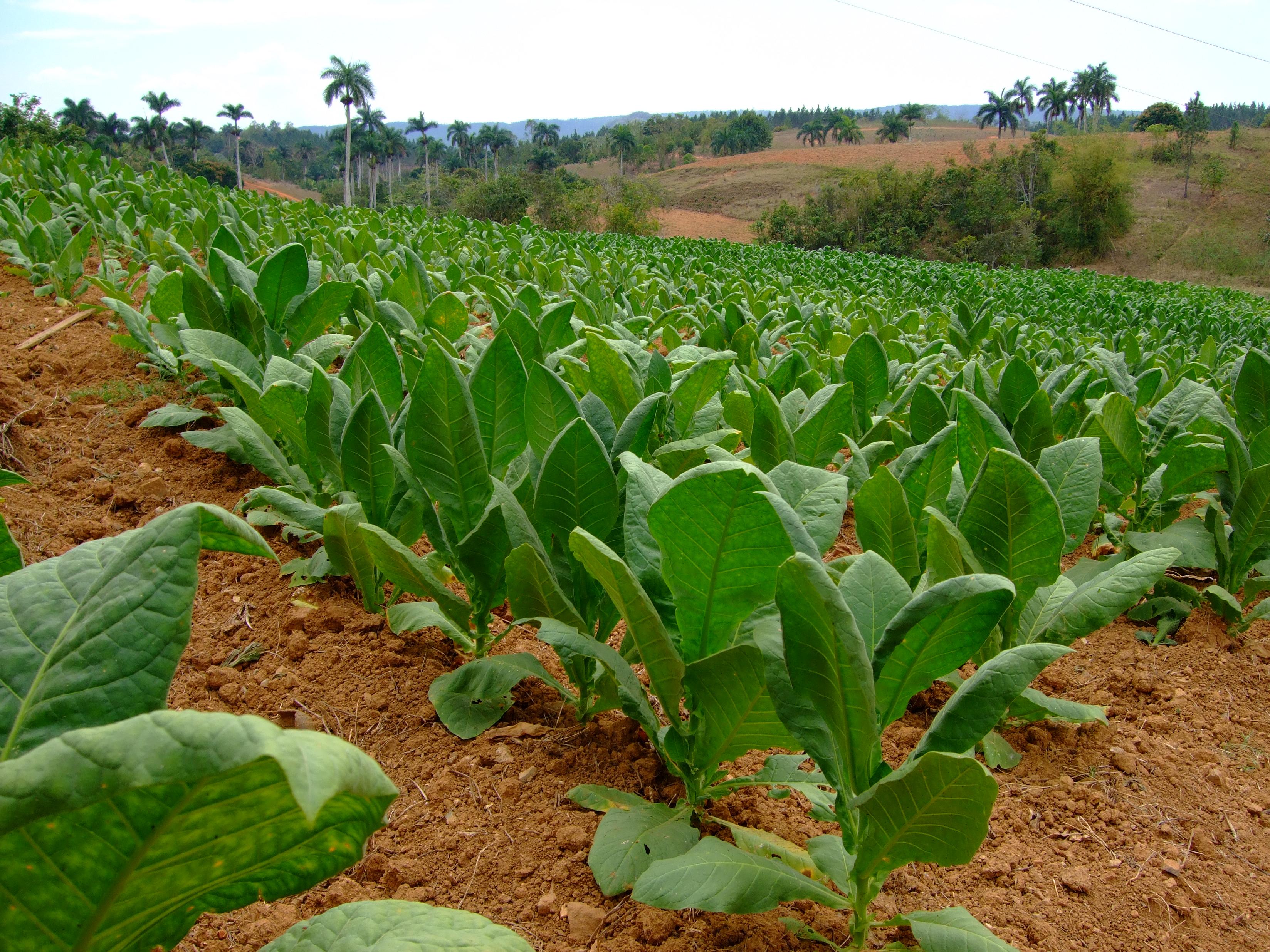 FileAJM 043 Tobacco Field In CubaJPG