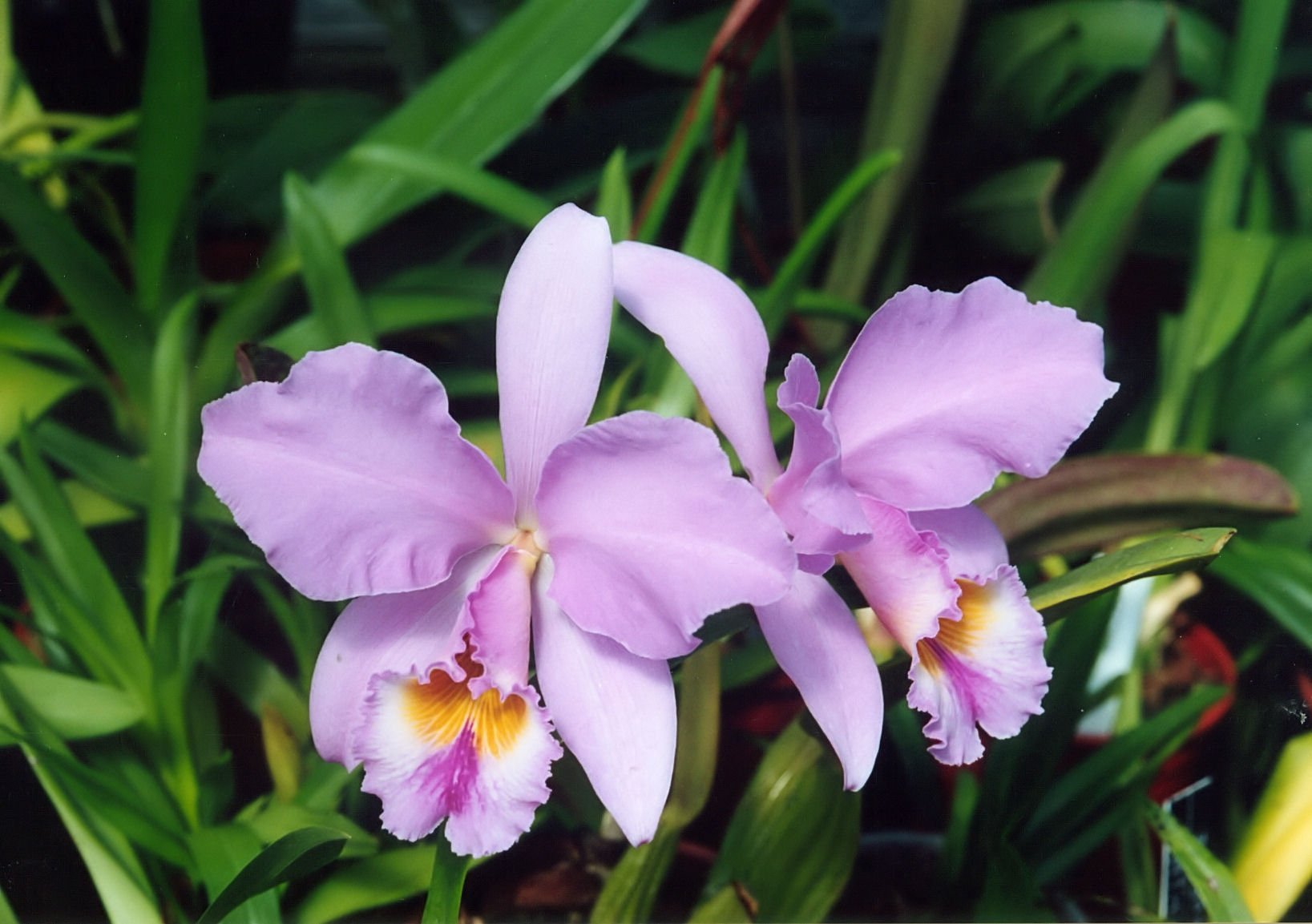 File a and b larsen orchids cattleya gaskelliana 876 9 for Orchidea cattleya