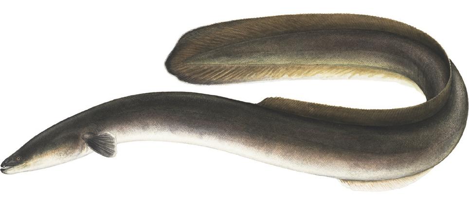 Anguila Americana Viquipedia L Enciclopedia Lliure