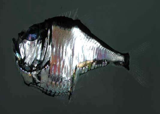 peces abisales