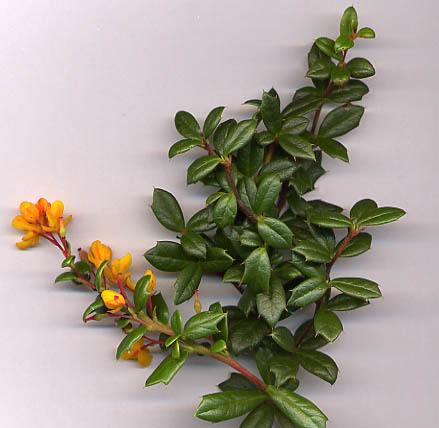File:Berberis darwinii shoot.jpg
