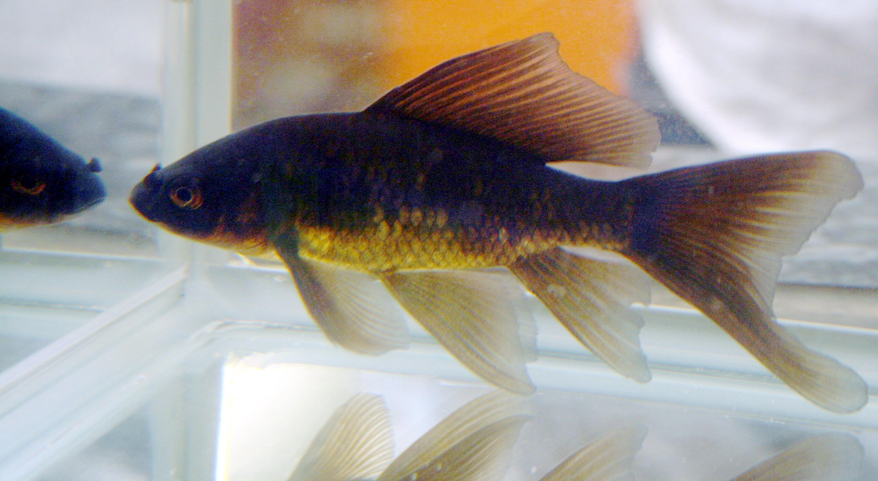 File Black Comet Goldfish Jpg Wikimedia Commons