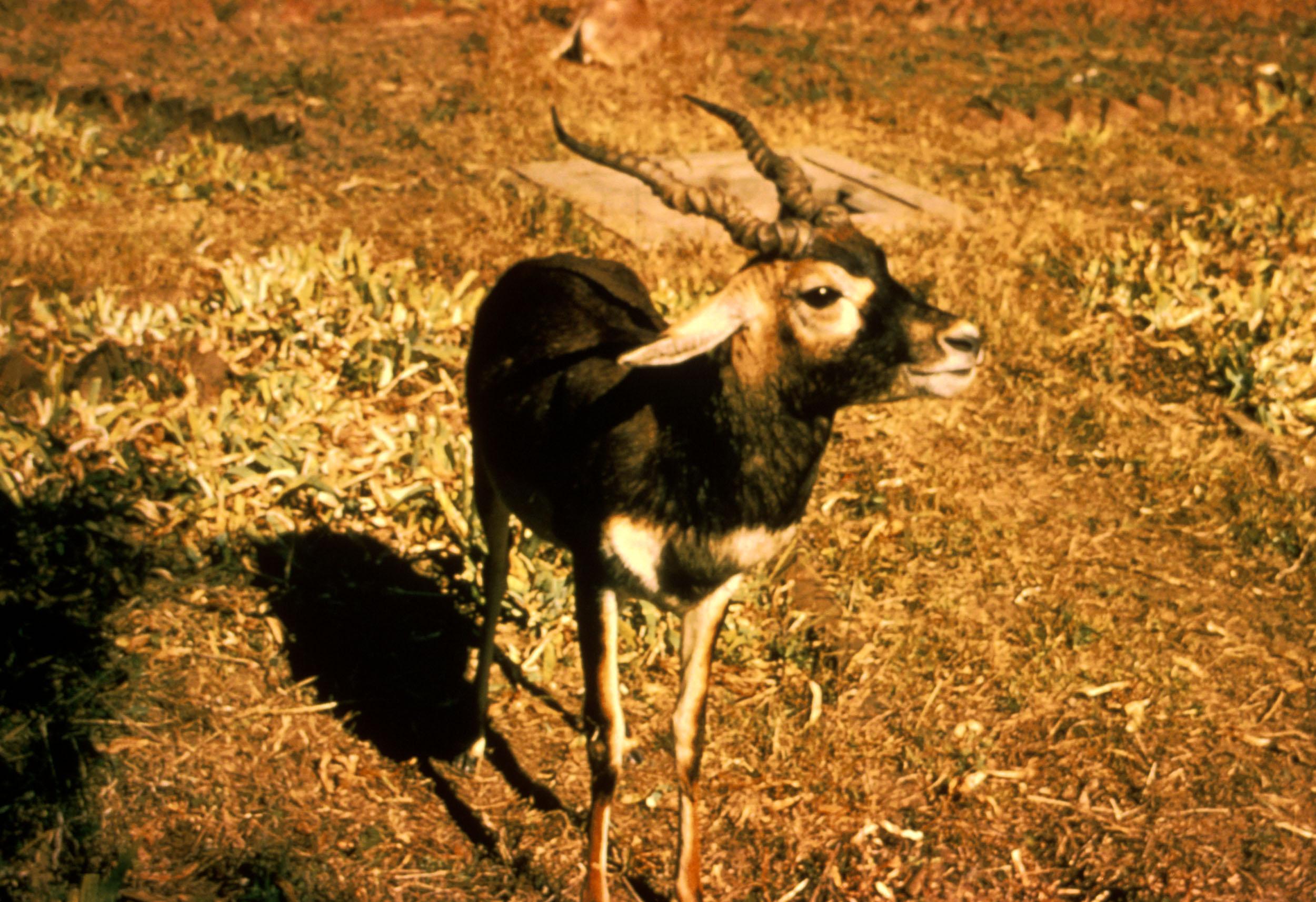 Blackbuck Antelope.jpg