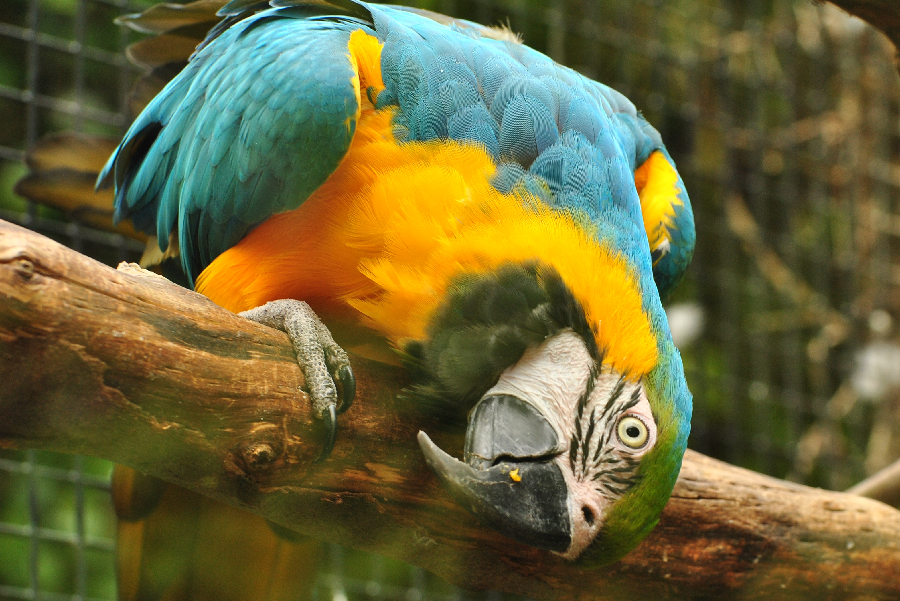 File:Blue and Gold Macaw (8679984901).jpg - Wikimedia Commons
