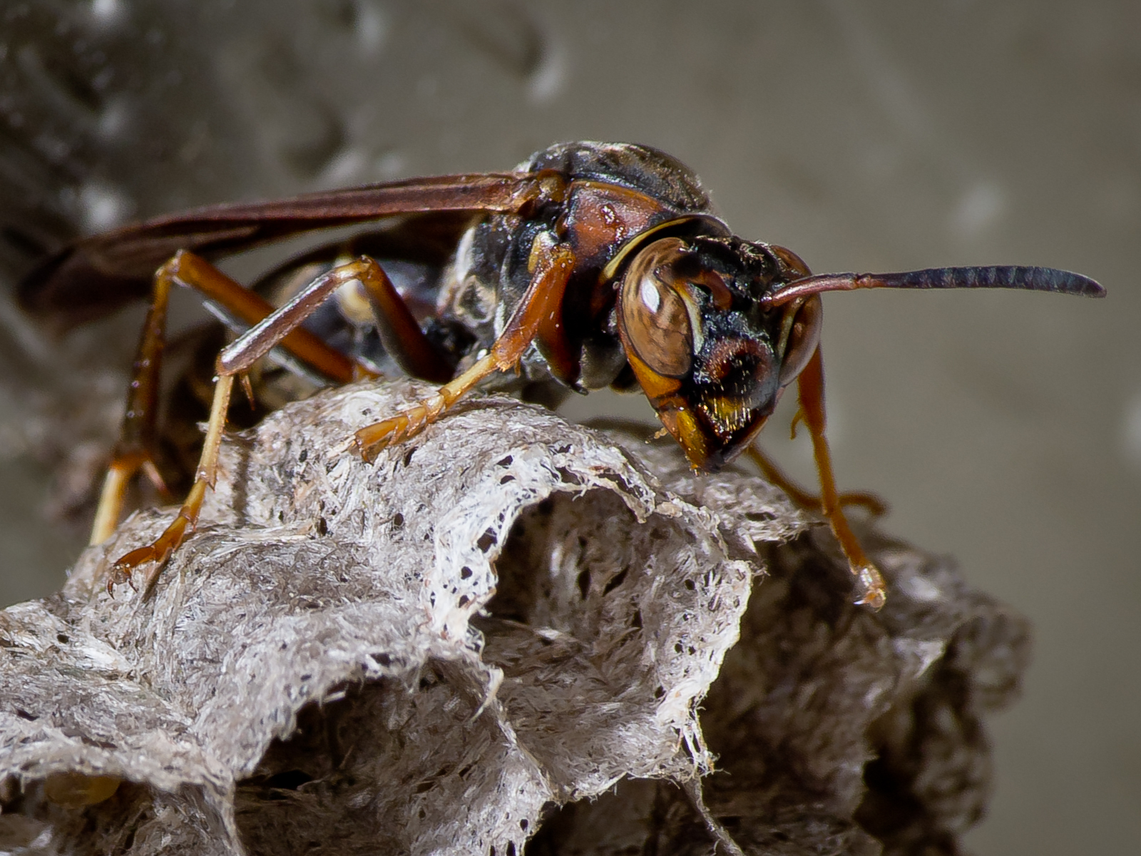The brown wasps
