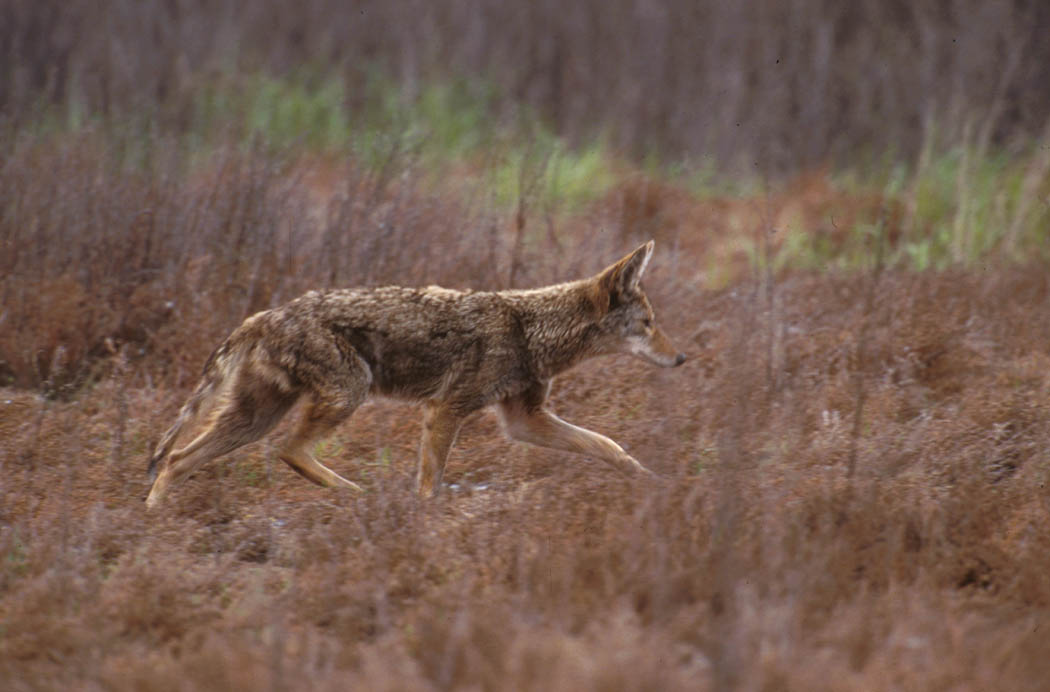 http://upload.wikimedia.org/wikipedia/commons/5/5c/Canis_latrans_walking.jpg