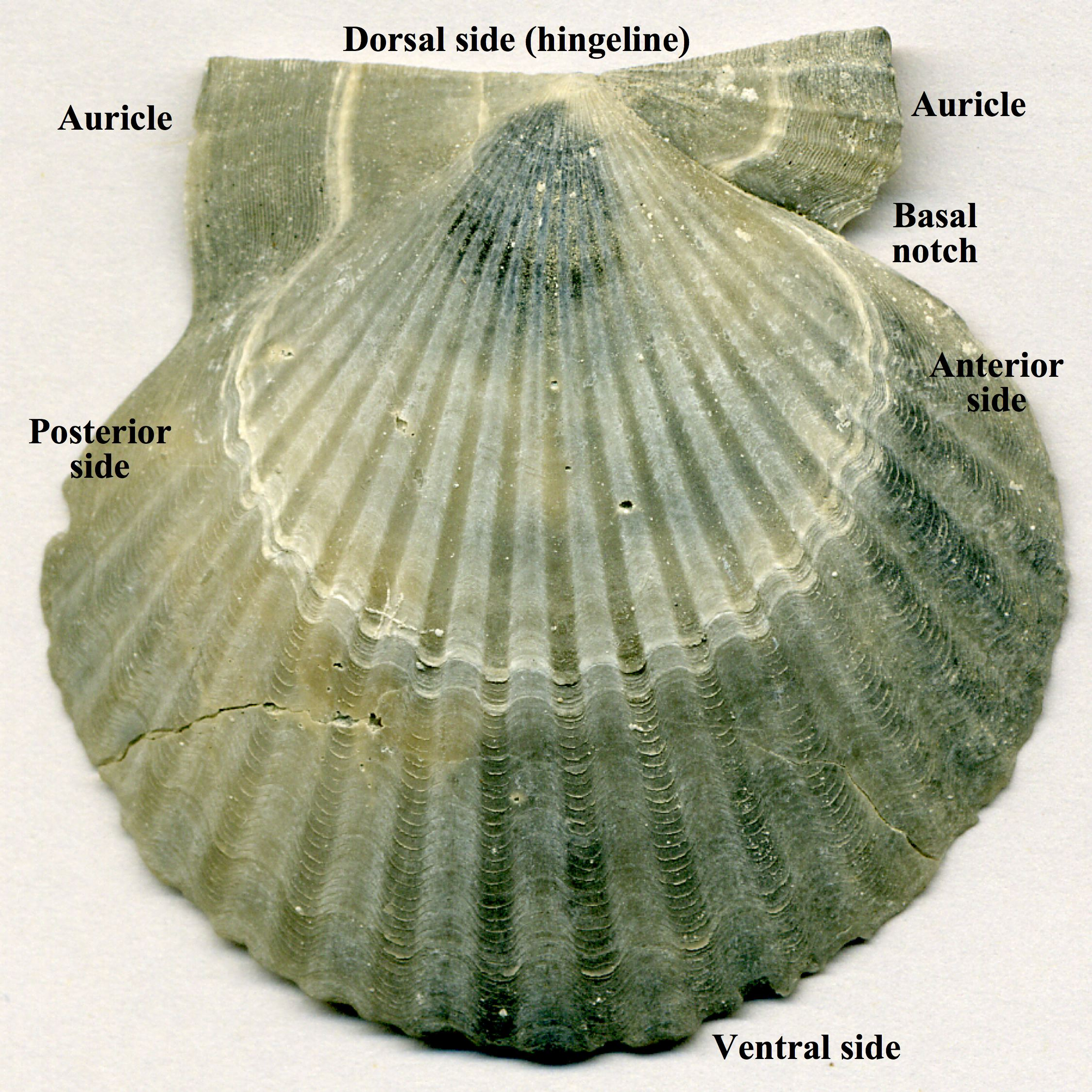 filecarolinapecten eboreus fossil scallop shell yorktown