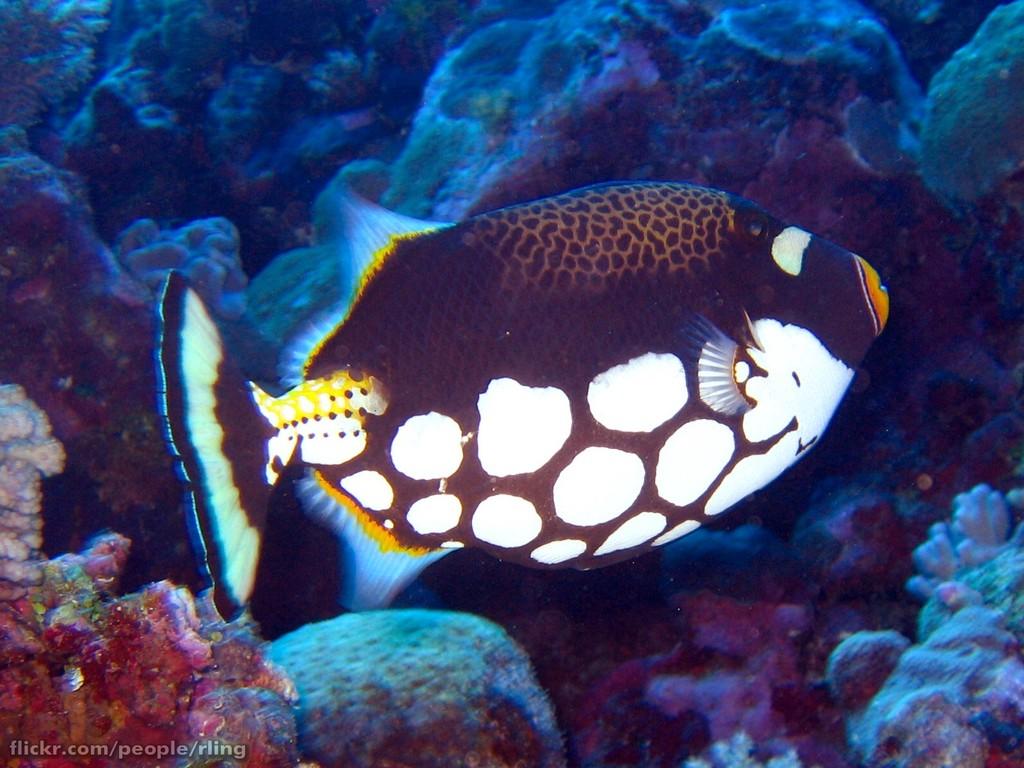 https://upload.wikimedia.org/wikipedia/commons/5/5c/Clown_Triggerfish.jpg