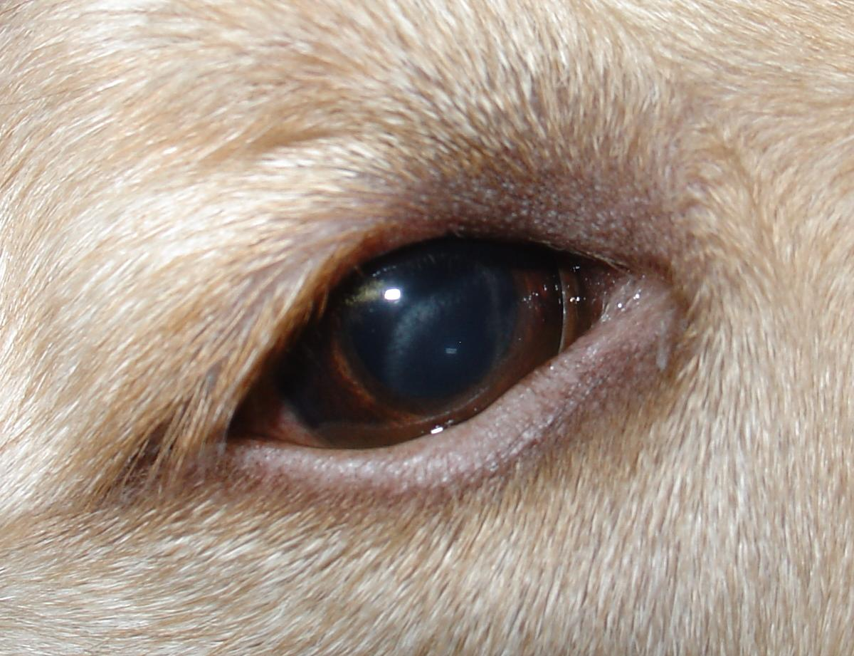 Cloudy Patch On Dog S Eye