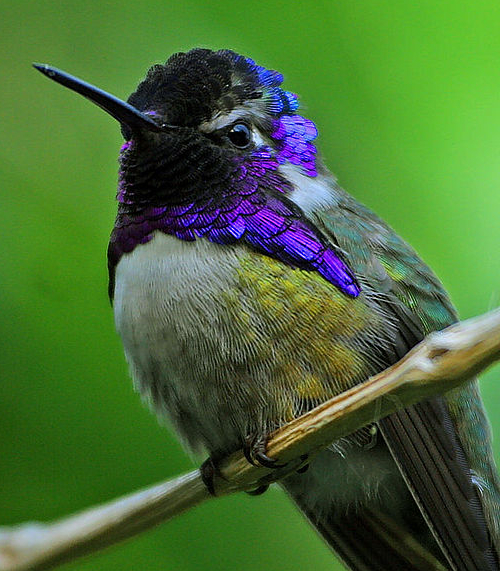 File:Costa's hummingbird (Calypte costae)-cropped.jpeg