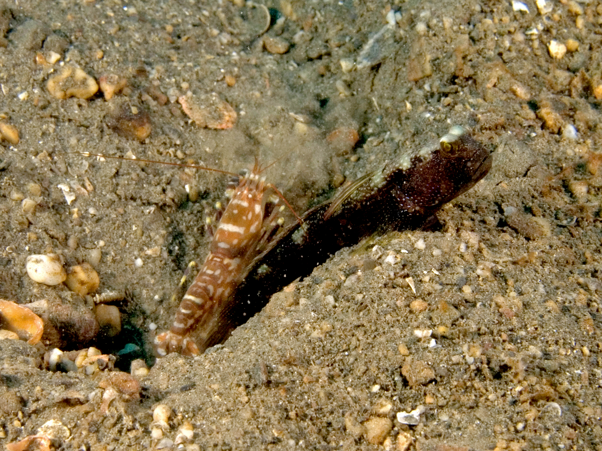 Cryptocentrus strigilliceps (Target shrimpgoby) and Alpheus rapicida (Snapping shrimp)