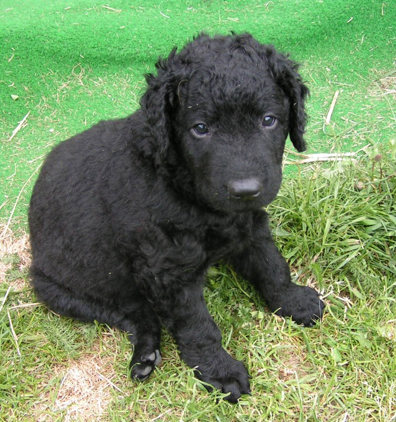 TinkerDoodle Kennel  FAQs about Labradoodles