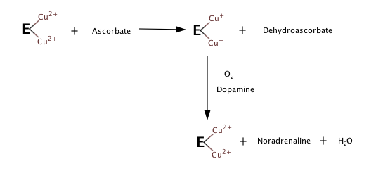 In the absence of oxygen, dopamine or other substrates, the enzyme and ascorbate mixture produces reduced enzyme and dehydroascorbate. Exposing the reduced enzyme to oxygen and dopamine results in oxidation of the enzyme and formation of noradrenaline and water, and this step doesn't require ascorbate.