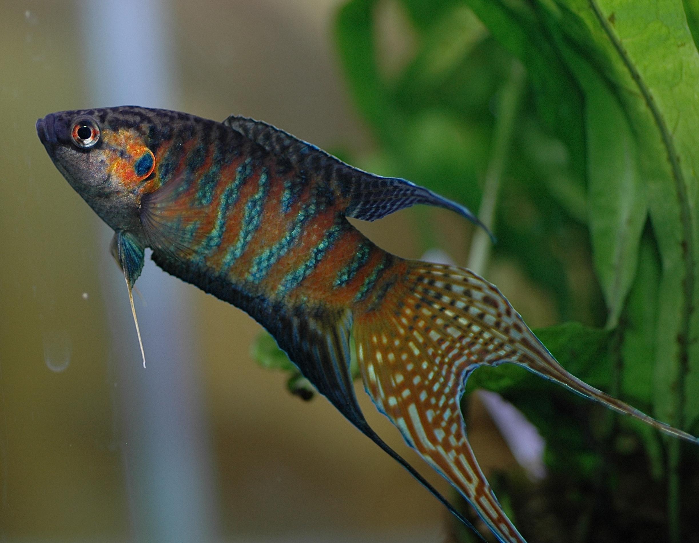 Albino Paradise Gourami, paradise-fish, paradisefish, paradise gourami, Macropodus opercularis