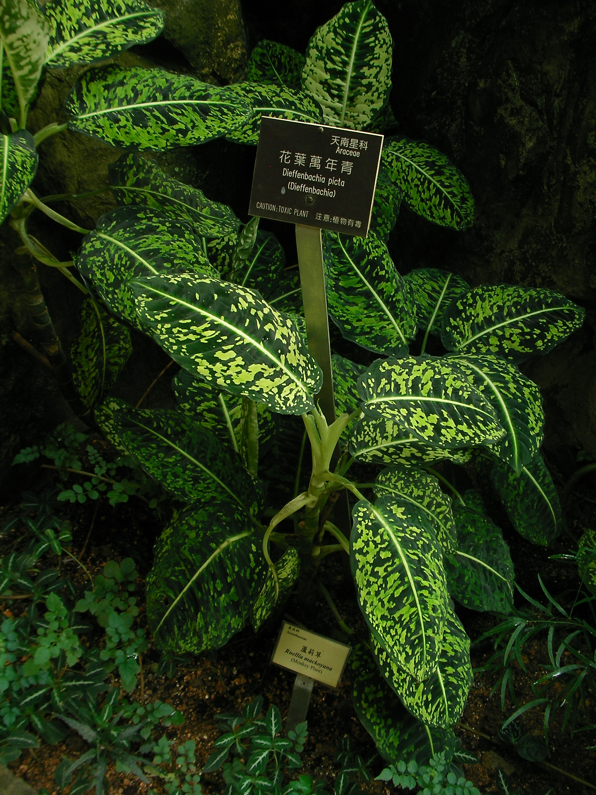 File:Dieffenbachia picta.jpg - Wikimedia Commons