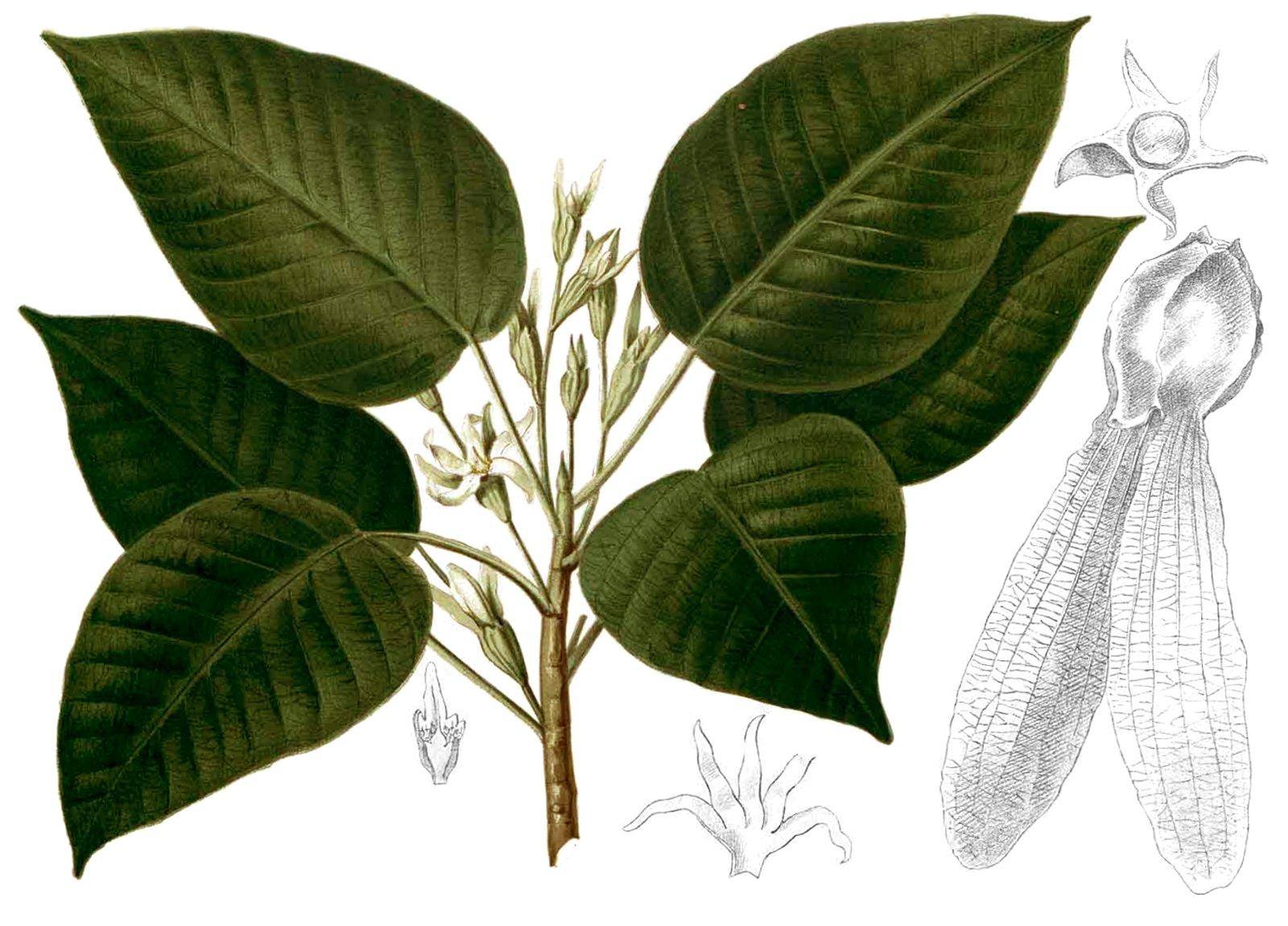 http://upload.wikimedia.org/wikipedia/commons/5/5c/Dipterocarpus_grandiflorus_Blanco2.263-cropped.jpg