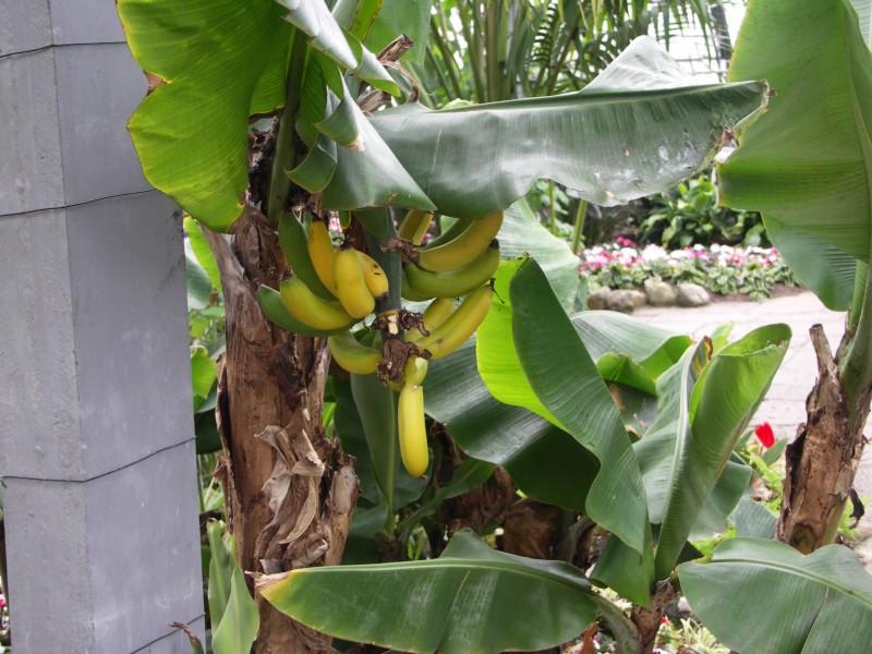 Бананы в Duthie Park