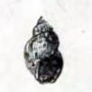 Galba truncatula 001.png