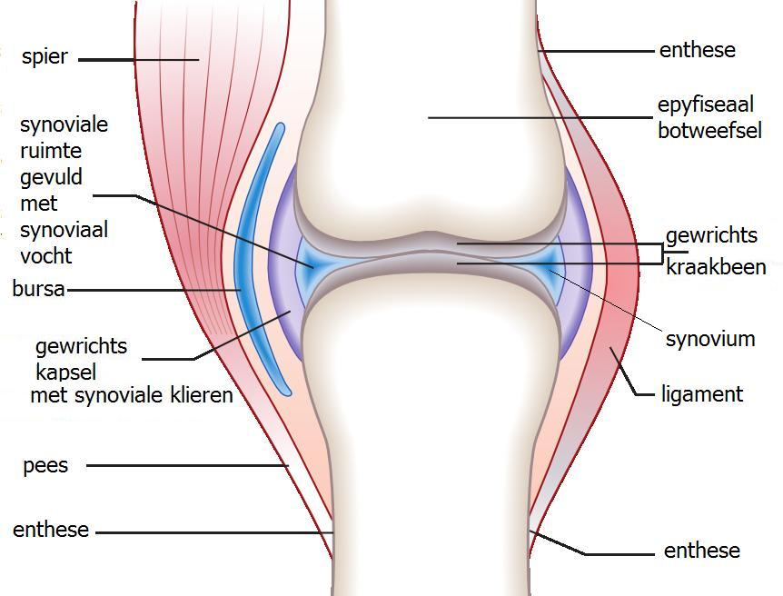what is enthesis The enthesis (plural entheses) is the connective tissue between tendon or ligament and bone [1] there are two types of entheses: fibrous entheses and fibrocartilaginous entheses .