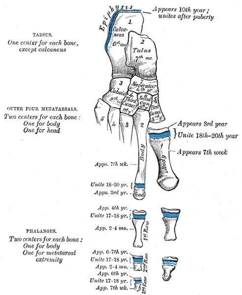The 7 tarsal bone combine with the 5 metatarsals to form the -upload.wikimedia.org