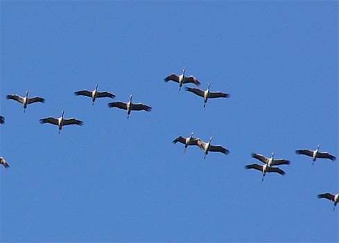 File:Grus grus flight.jpg